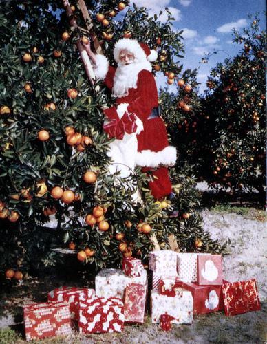 Santa Claus picking oranges